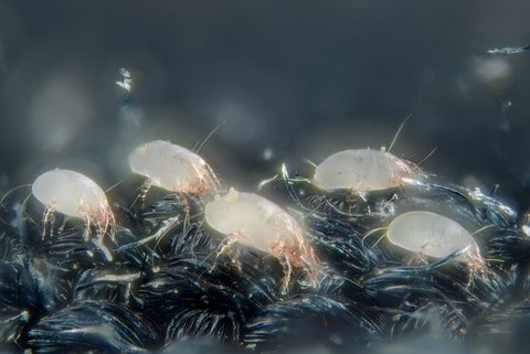 House dust mites (Dermatophagoides pteronyssinus).  Scale : mite length = 0.3 mm  Technical settings :   - focus stack of 67 images  - microscope objective (Nikon achromatic 10x 160/0.25) on bellow